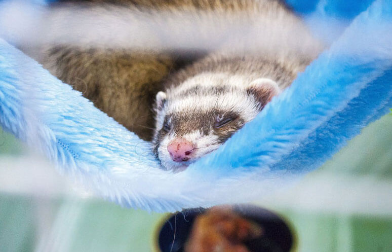 ferret sleeping in a blue hammock