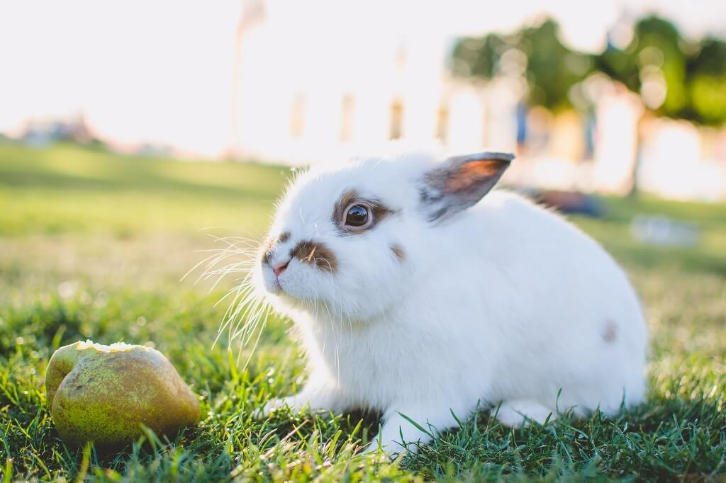 white rabbit next to a pear
