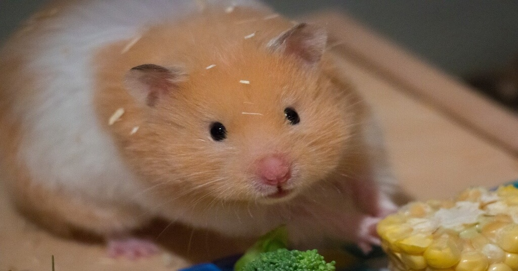 syrian hamster in front of corn and broccoli
