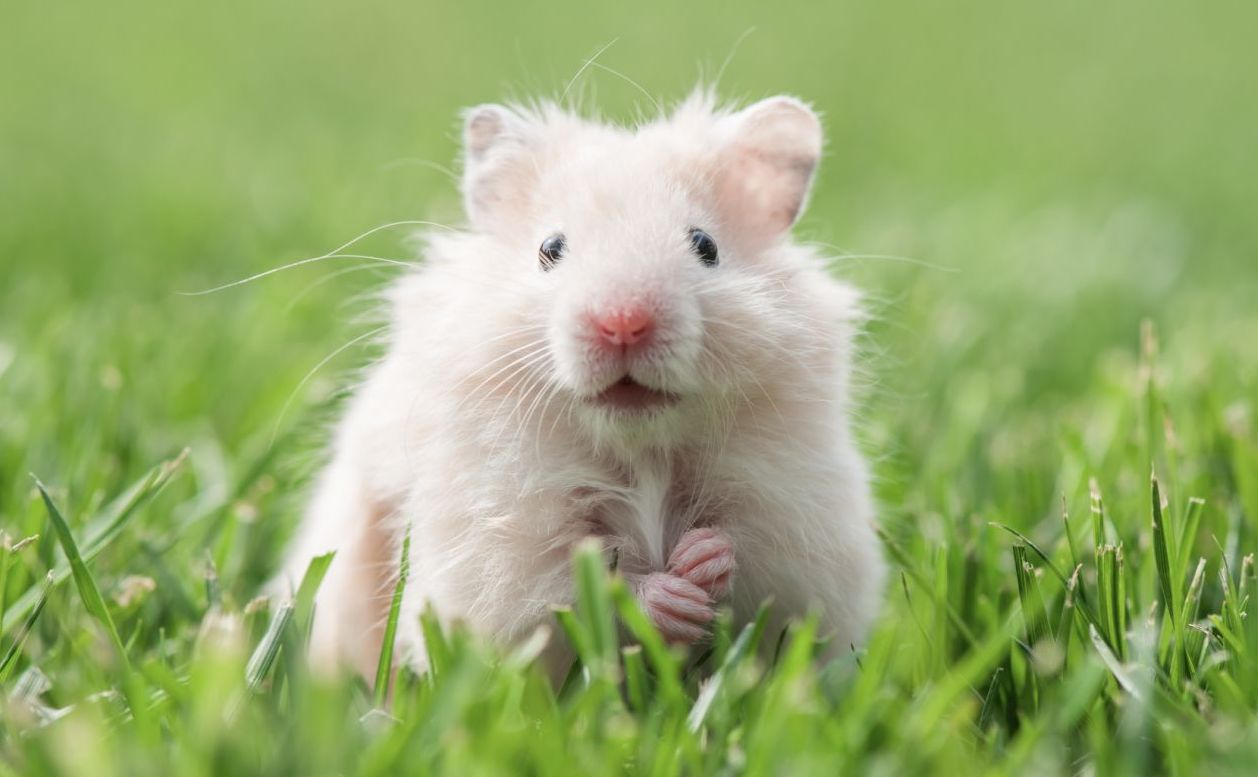 white hamster on lawn