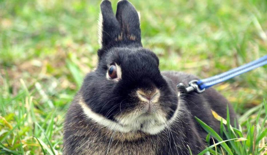 best rabbit harness reviews