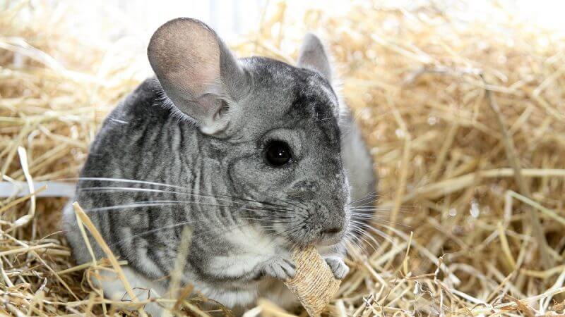 chinchilla sitting in a hay