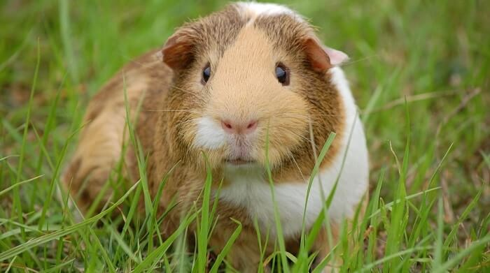 a white and brown guinea pig on grass