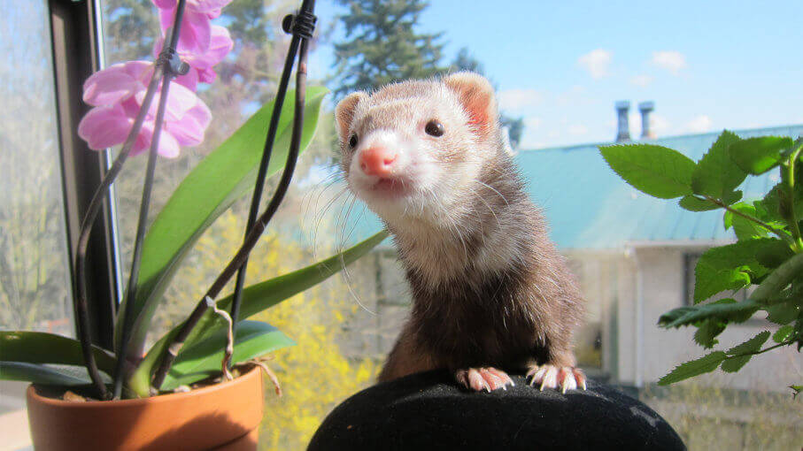 ferret standing on a chair surrounding with flowers