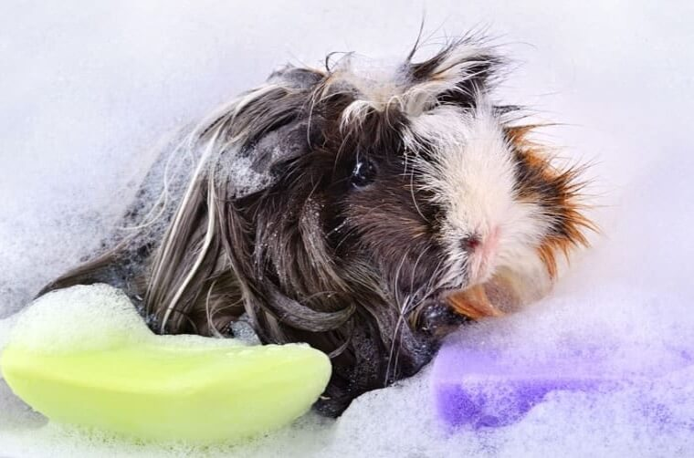 guinea pig taking a bath in soap foam