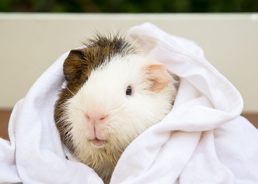 guinea-pig-enjoying-her-monthly-bath