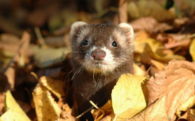 ferret standing on a falling leaves