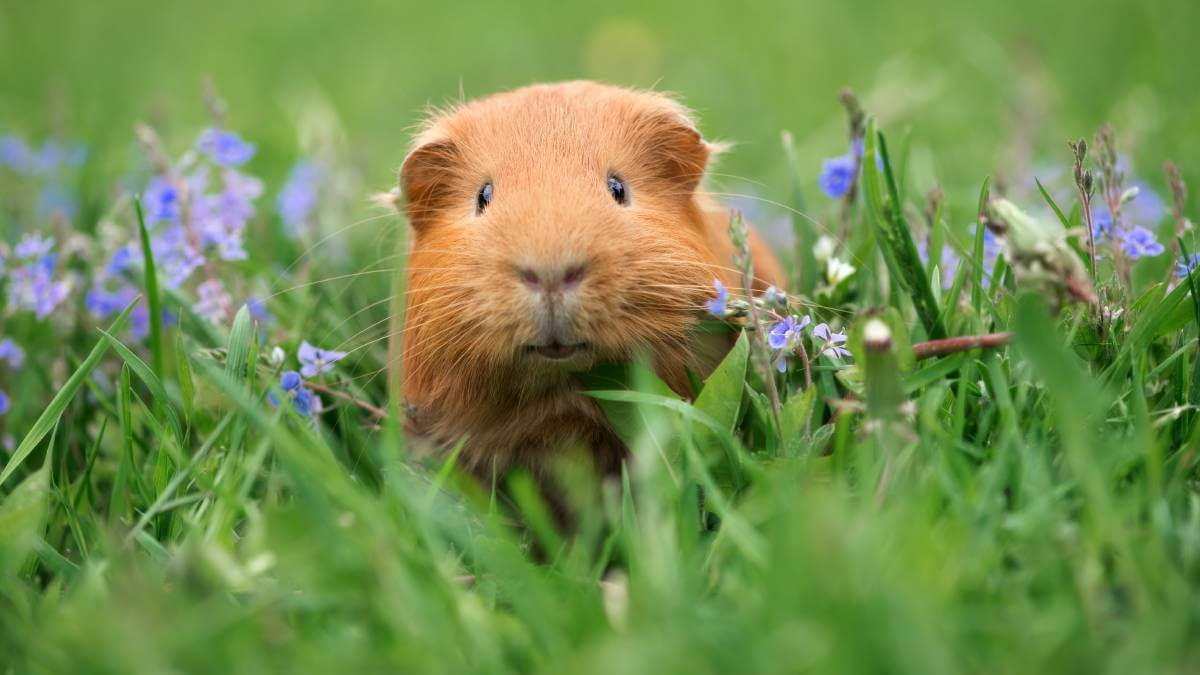 brown guinea pig in green grass
