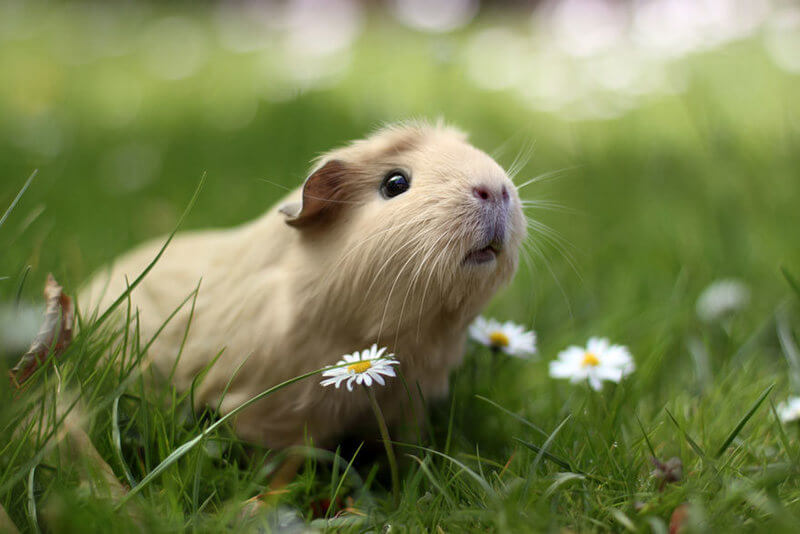 guinea pig looking up