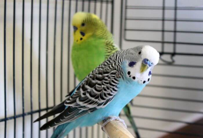 blue and green parakeets in a cage
