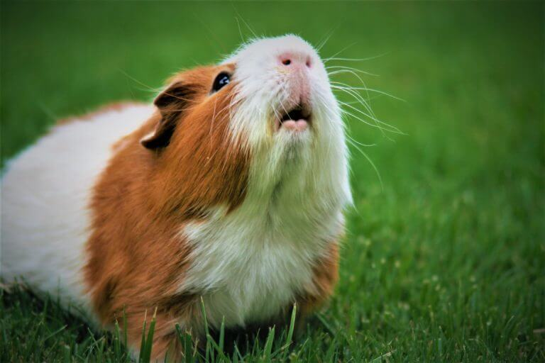 Guinea pig lifting his head