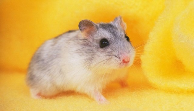 hamster on a yellow background