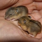 two baby hamsters
