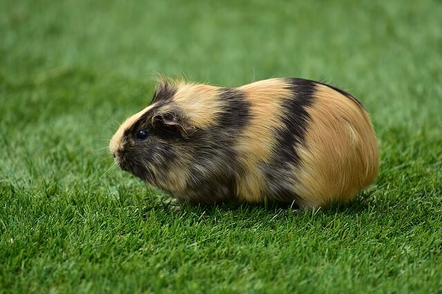 guinea-pig-on-grass