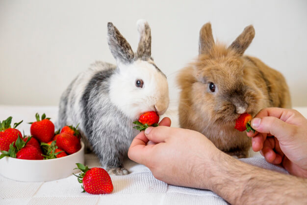 Man feeding strawberries to two rabbits