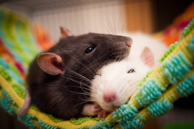 two rats cuddling