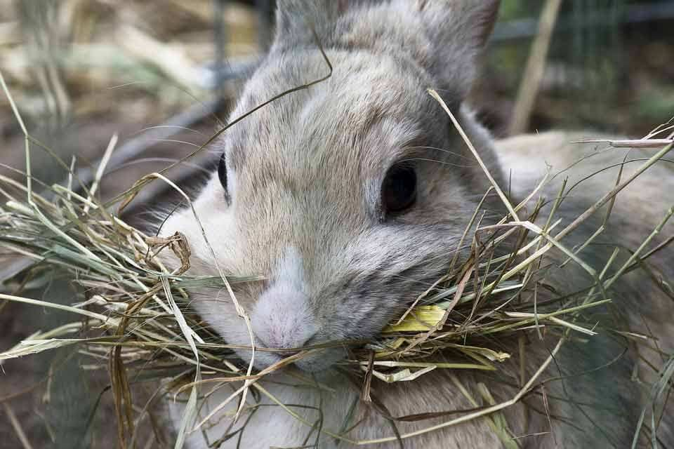 Rabbit Eating Hay