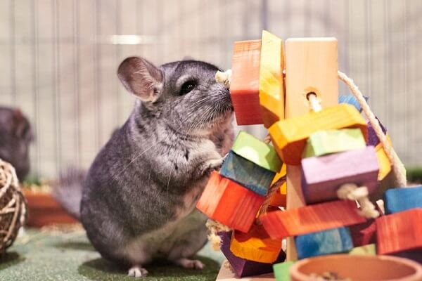 chinchilla playing with toys