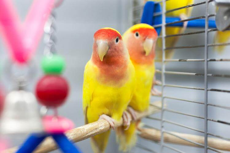 two loverbirds in a cage