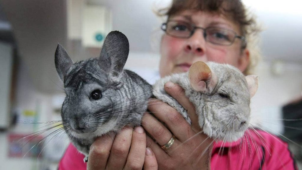 woman holding two chinchillas