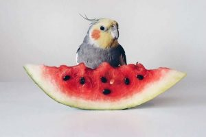 Cockatiel Eats Watermelon