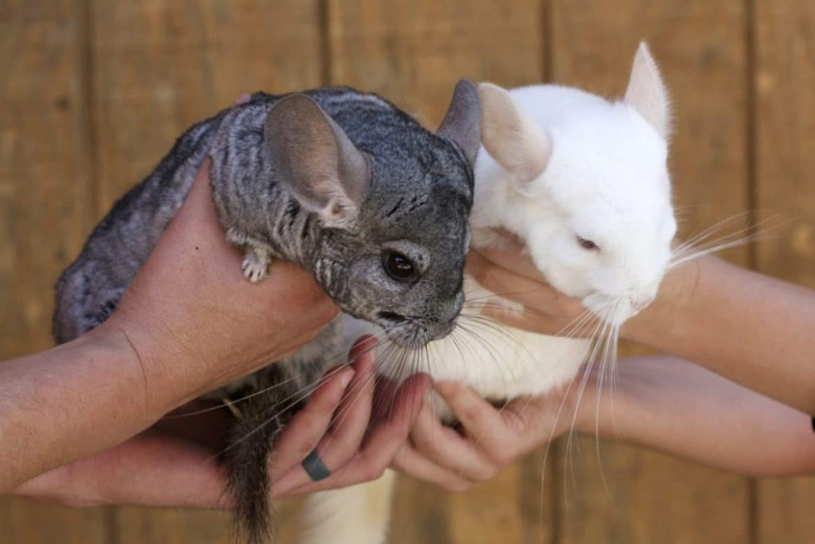 a man holding two chinchillas