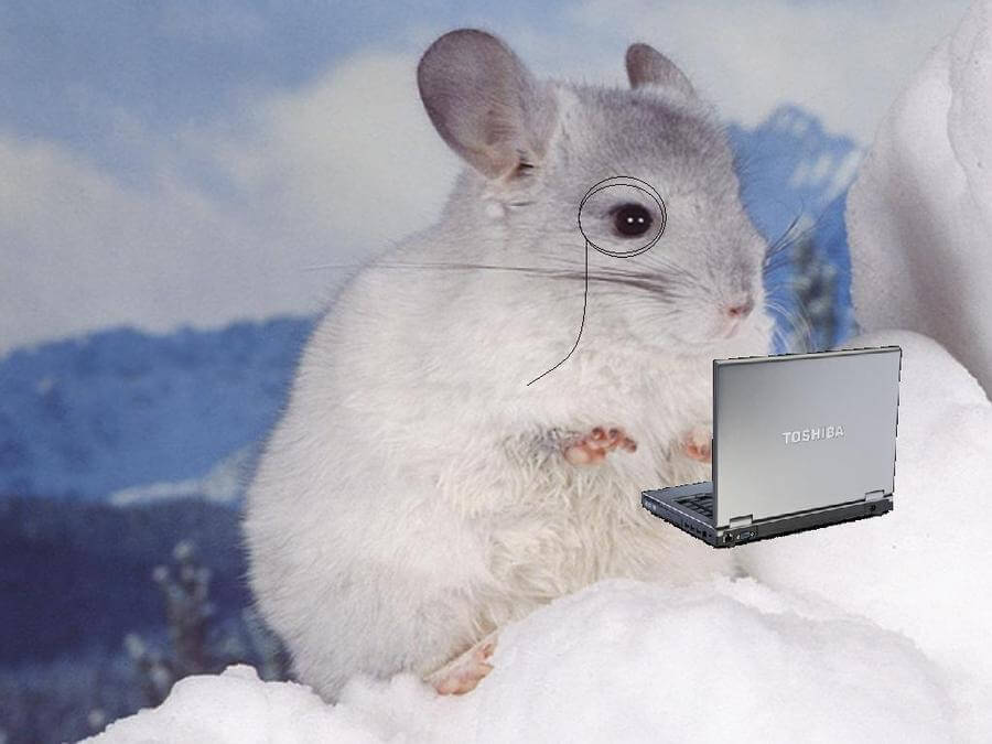 chinchilla holding a pc