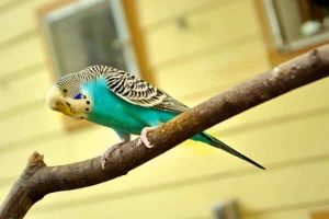 blue parakeet standing on a branch