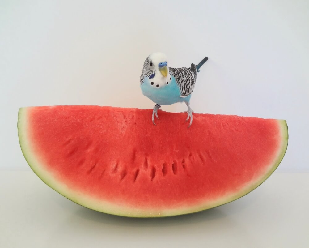 parakeet standing on a watermelon