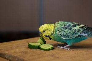 green parakeet eats cucumber