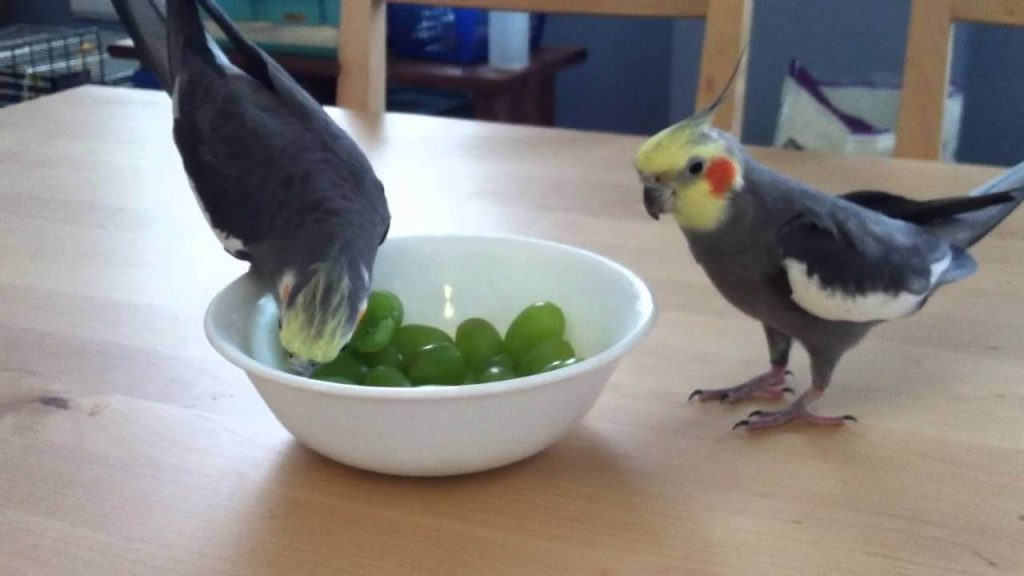 cockatiels eat grapes