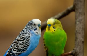 two parakeets standing on branch
